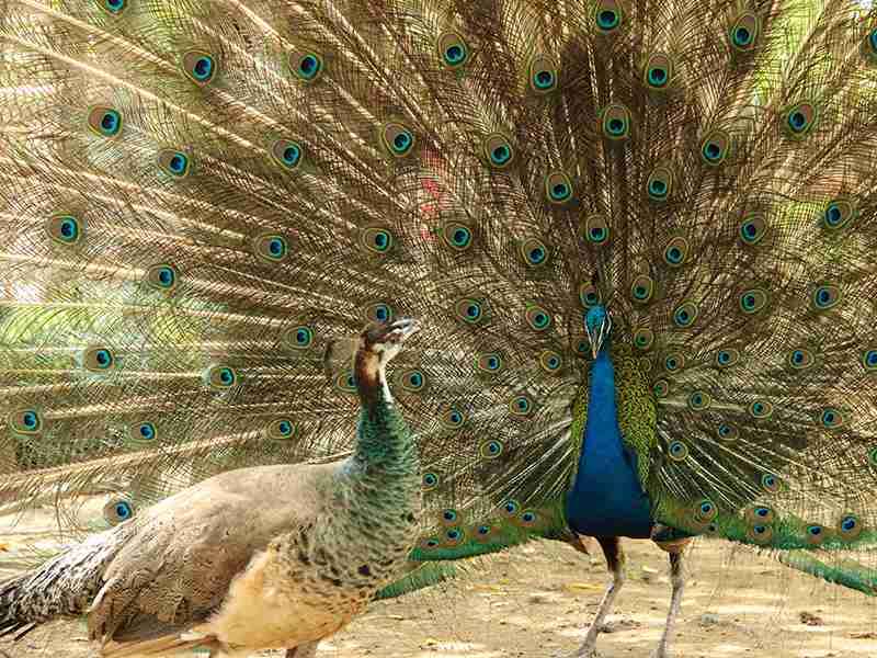 Two peacocks on a gravel road