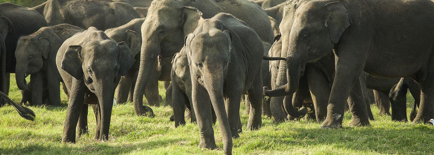 Elephant gathering at Minneriya