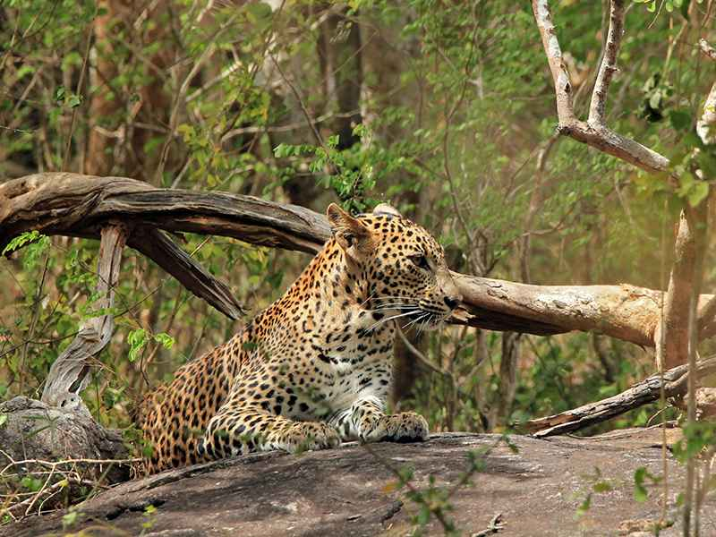 Leopard spotted at Yala National Park