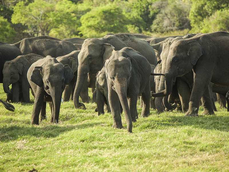 Elephant gathering at Minneriya National Park