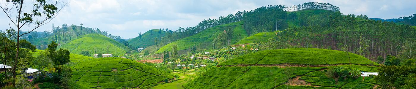 Tea plantation in Bandarawela
