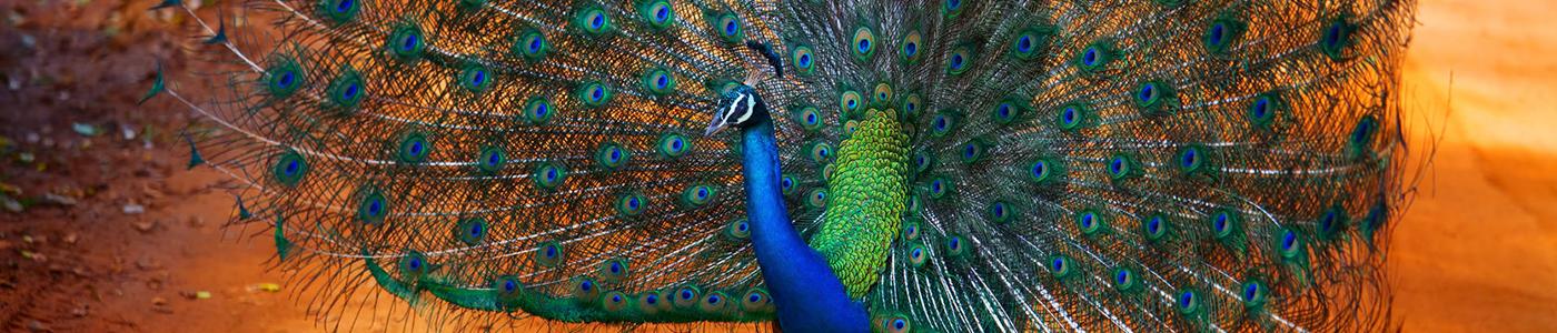 Peacock at Kaudulla National Park