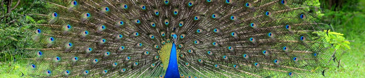 A dancing peacock in Sri Lanka