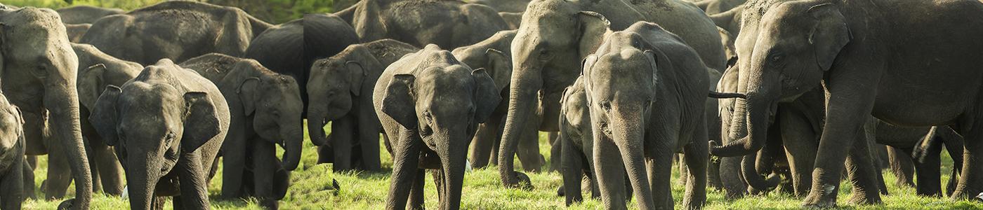 Elephant Gathering, Minneriya