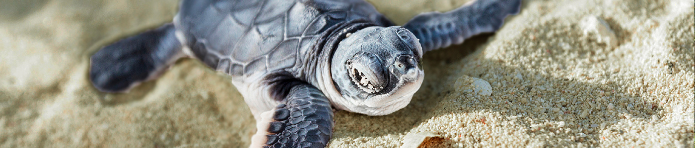 A Baby Sea Turtle, Koggala